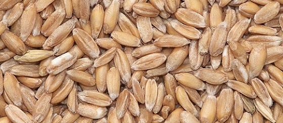 Спелта | Пшеница | Камут