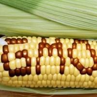 Учени, които открили, че ГМО крие опасности за здравето, били незабавно уволнени, а екипът им разпуснат
